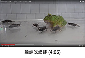 王衡:7.蟾蜍吃蟋蟀 (4-06).jpg