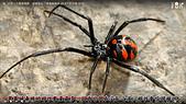 王衡:5.世界十大最毒蜘蛛,被哪隻咬了會變蜘蛛俠(4-19).jpg