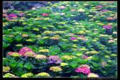 台北市北投區竹子湖大梯田 繡球花(3顆星):TB8A0171.JPG