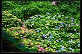 台北市北投區竹子湖大梯田 繡球花(3顆星):TB8A0156.JPG