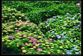 台北市北投區竹子湖大梯田 繡球花(3顆星):TB8A0161.JPG