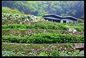 台北市北投區竹子湖大梯田 繡球花(3顆星):TB8A0177.JPG