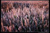 (其它花種) :仙草花