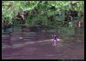 桃園市大溪區落雨松濕地(3顆星):_B8A5366.JPG