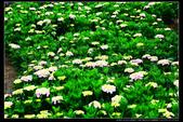 台北市北投區竹子湖大梯田 繡球花(3顆星):TB8A0101.JPG