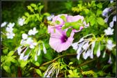 (其它花種) :牽牛花