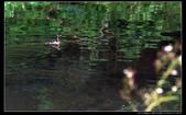 桃園市大溪區落雨松濕地(3顆星):_B8A5369.JPG