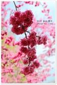 1010218 新社櫻花:IMG_9846.JPG