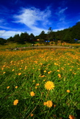 福壽山貓兒菊~藍茵湖~天池達觀亭~露營區:2U4A0346.JPG