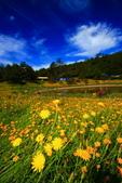 福壽山貓兒菊~藍茵湖~天池達觀亭~露營區:2U4A0350.JPG
