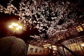 戀戀阿里山櫻花2012:IMG_0005.JPG