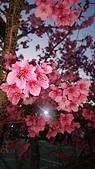 櫻花:DSC_0250.JPG