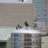 鴿子 試拍:遠距 鴿子 花 002.JPG