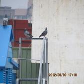 鴿子 試拍:遠距 鴿子 花 003.JPG