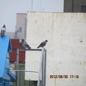 鴿子 試拍:遠距 鴿子 花 004.JPG