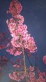櫻花:DSC_0257.JPG