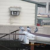 鴿子 試拍:遠距 鴿子 花 006.JPG