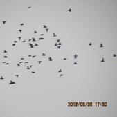 鴿子 試拍:遠距 鴿子 花 008.JPG