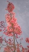櫻花:DSC_0256.JPG