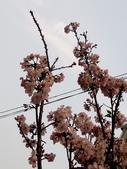2016.03.30 白櫻花: