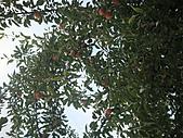 2010.09.23~2010.10.03土耳其:20100924蘋果樹.JPG