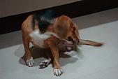 皮皮&Doggy:2008.10.18 Doggy 2.JPG