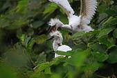 坪林白鷺鷥:20100508坪林白鷺鷥3038.JPG