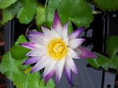 睡蓮:紫喬依