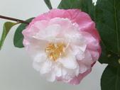 玉玫瑰:玉玫瑰
