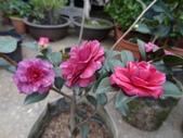 紫紅梅(Zihongmei):紫紅梅
