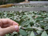 豐山生態園區:正在曝曬的肉桂葉
