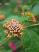 豐山生態園區:星型的花