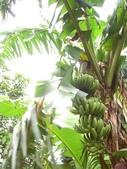 豐山生態園區:香蕉樹