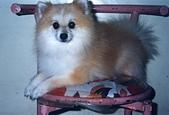 寵物狗仔:File0086 (吉米) (狐狸豬)
