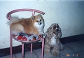 寵物狗仔:File0085 吉米  (狐狸豬) & 哈利 (大憨呆)