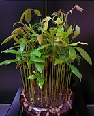 種子盆栽:P1020719.jpg