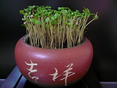 種子盆栽:P1020713.JPG