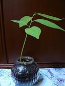 種子盆栽:P1020704.JPG