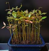 種子盆栽:P1020698.jpg