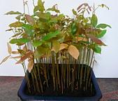 種子盆栽:P1020723.jpg