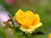 嬌豔的玫瑰花–5:S5350.JPG