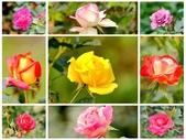 嬌豔的玫瑰花–5:S5321.JPG