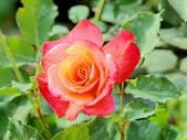 嬌豔的玫瑰花–5:S5343.JPG