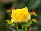 嬌豔的玫瑰花–5:S5344.JPG