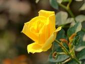 嬌豔的玫瑰花–5:S5340.JPG