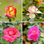 嬌豔的玫瑰花–5:相簿封面