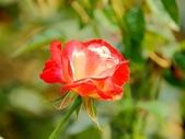嬌豔的玫瑰花–5:S5341.JPG