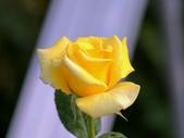 嬌豔的玫瑰花–5:S5328.JPG