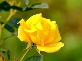 嬌豔的玫瑰花–5:S5348.JPG