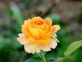 嬌豔的玫瑰花–5:S5349.JPG
